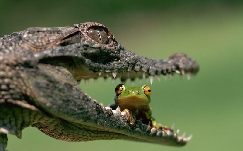 caiman cocodrilo