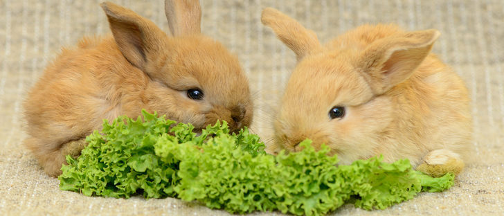 conejo alimentacion