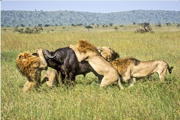 leon atacando